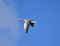 Geese flying Stock Photography