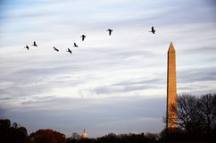 Geese Flying Over Washington Monument Stock Image