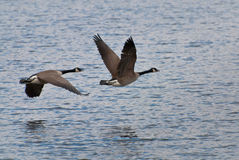 Geese Flying Over Water Stock Photo