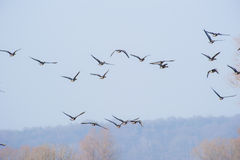 Geese flying overhead against a clear blue sky Royalty Free Stock Images