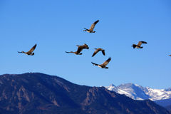 Geese flying south Stock Image