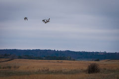 Geese flying south Royalty Free Stock Photography