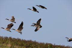 Geese flying Royalty Free Stock Photography