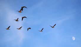 Geese flying to moon stock images