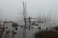 Geese at the foggy swamp. Fog and geese at the swamp Royalty Free Stock Photography