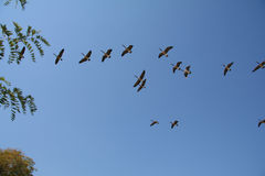 Geese Formation. Flying Birds stock image