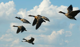 Geese in Formation. A flock of geese fly in formation through a cloud filled sky Stock Photo