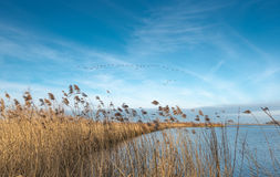 Geese formation flying against a blue sky Stock Photography