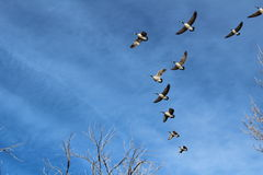 Geese in Formation Stock Photos