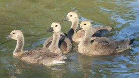Geese. Four baby geese out for a swim Royalty Free Stock Photos