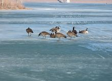 Geese on frozen lake. In Colorado Royalty Free Stock Images