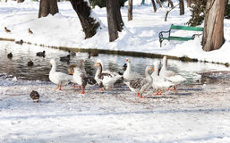 Geese on a frozen lake - RAW format Royalty Free Stock Images