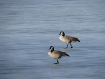 Geese on frozen Lake Stock Images