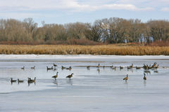 Geese on Frozen Wetland. Geese roosting on Iced Wetland in the winter Stock Photos