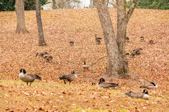 Geese on glade Stock Photography