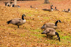 Geese on glade Royalty Free Stock Image
