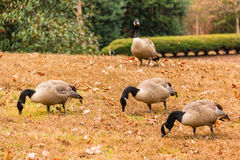 Geese on glade Royalty Free Stock Photo