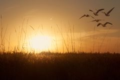 Geese gliding over grain field at sunset Royalty Free Stock Image