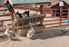 Geese and goat in the manger with hay Stock Image