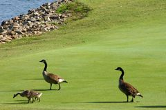 Geese on Golf Course. Some geese hunting for food on a golf course royalty free stock images