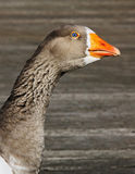 geese, goose Royalty Free Stock Photo