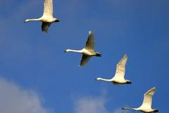 Swans in flight. Birds flight flying wildfowl RSPB feathers beak flock sky cloud migration white Stock Photos