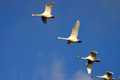 Swans in flight Royalty Free Stock Photography