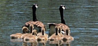 Geese, Goose Family, Family Stock Photos