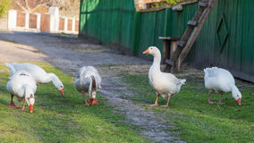 Geese and goose are grazing Royalty Free Stock Image