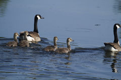 Geese and Goslings Royalty Free Stock Photo