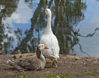 Geese with Goslings. Geese with their baby goslings by the lake Stock Photos