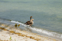 Geese with goslings Royalty Free Stock Image