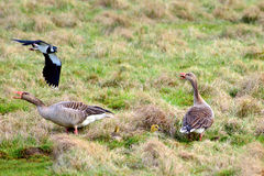 Geese and goslings Royalty Free Stock Image