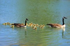 Geese and goslings on lake Royalty Free Stock Photo