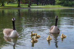 Geese and goslings on lake. Geese and goslings floating on a lake in St Albans Stock Photos