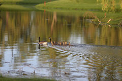Geese with goslings Stock Photo