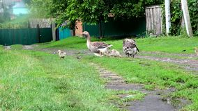 Geese and goslings in the village. Summer poultry yard in the village. Mother Goose brings up a chicks stock footage