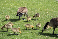 Geese and goslings Stock Image