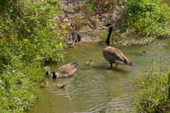 Geese and goslings Royalty Free Stock Photos