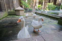 Geese of the Gothic Barcelona Cathedral (Catedral de Barcelona) Stock Images