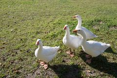 Geese on grass Stock Images