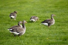 Geese on grass field. Picture of geese on grass field Royalty Free Stock Image