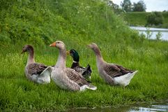 geese on grass lake pond royalty free stock images