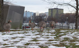 Geese on grass in winter in center of the city. Munich, Germany. Birds looking for food Royalty Free Stock Photography