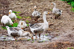 Geese gray on ground with puddle Royalty Free Stock Photo