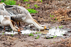 Geese gray imbibe from puddles Stock Photos