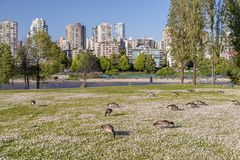 Geese graze in the grass on a meadow in a city park with trees, Stock Image