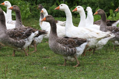 Geese graze on rural poultry farm yard Royalty Free Stock Image