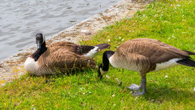 Geese grazing on the grass Royalty Free Stock Photos