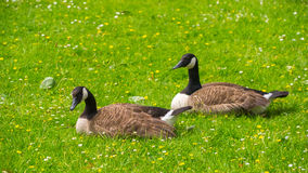 Geese grazing on the grass Royalty Free Stock Photography